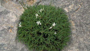 Thumb astragalus gennarii  g. bacchetta  photo for the page preview